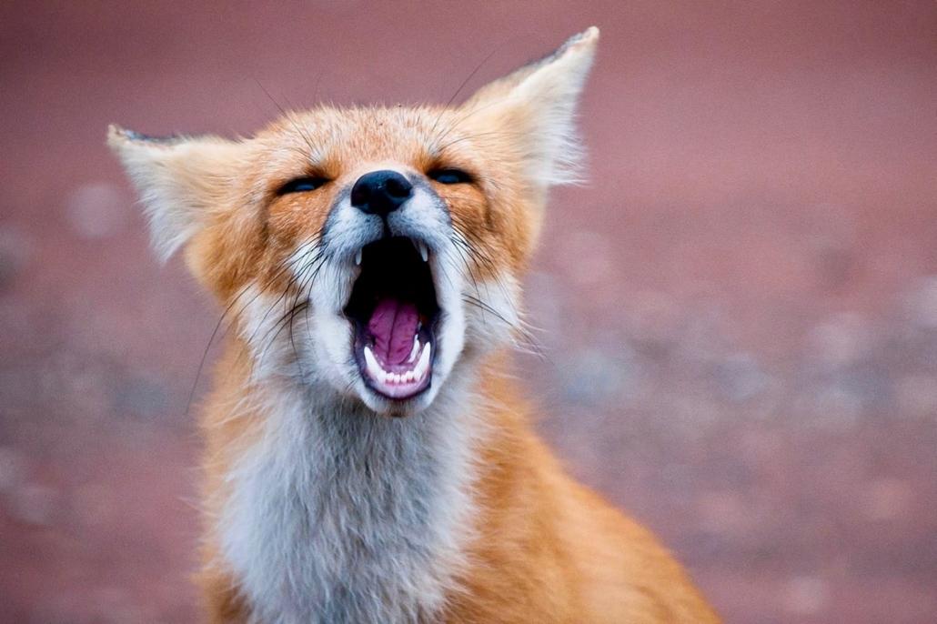 Der Fuchs geht um | Feuilleton | Magazin Zürich