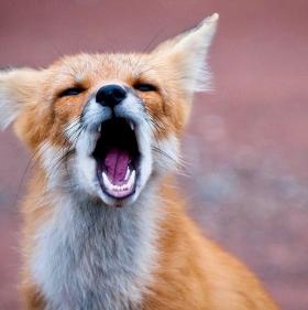 Der Fuchs geht um